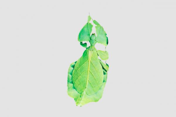 Leaf, Liquid Crystal, Kit Mead